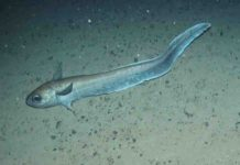 This is a roundnose grenadier at 1,300m off the Hebrides, Scotland.