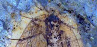 scorpionfly fossil