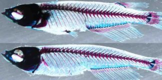 Top: A medaka fish with normal dorsal and paired pectoral/pelvic fins. Bottom: When the ZRS and sZRS enhancers are knocked out, the fins do not develop normally.