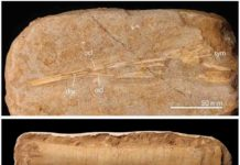 Some of the Moroccan pterosaur fossils from the study.