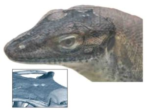 This image depicts a reconstruction of what the extinct monitor lizard might have looked like.