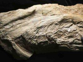 Platylithophycus cretaceus specimen. The scale bar is 5 centimeters.