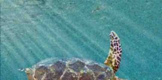 Peritresius martini turtle