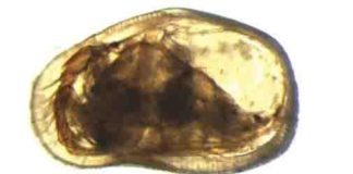 Female (top) and male (below) of the ostracod Cypideis salebrosa.