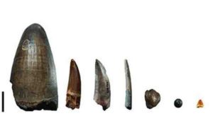 Teeth from the Gadoufaoua deposit (Niger). The scale bar represents 2 cm. From left to right: teeth of a giant crocodile, Sarcosuchus imperator, a spinosaurid, a non-spinosaurid theropod (abelisaurid or carcharodontosaurid), a pterosaur, a hadrosaurid (a herbivorous dinosaur), a pycnodont (fish), and a small crocodylomorph.