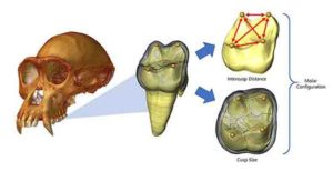 CT-rendered chimpanzee cranium (left) with enlarged image of a virtually extracted molar (middle).