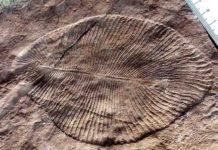 A Dickinsonia fossil animal of the Ediacaran era.