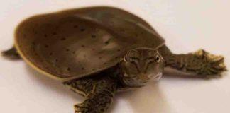 Apalone spinifera spiny softshell turtle