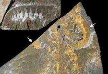 Cambrian predator and stem-lineage euarthropod Anomalocaris canadensis from the Burgess Shale, Canada.