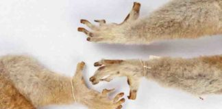 Lemurs, lorises and galagoes have nails on most digits and grooming claws on their second toes