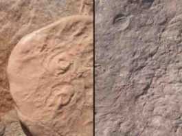 Ediacaran-era fossils: Obamus coronatus (left) and Attenborites janeae.