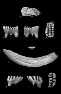 C. kakwa were multituberculate mammals
