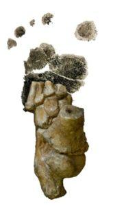 Australopithecus afarensis foot from Dikika, Ethiopia
