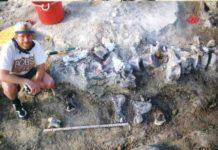 Brachiosaur foot bones below a tail of a Camarasaurus.