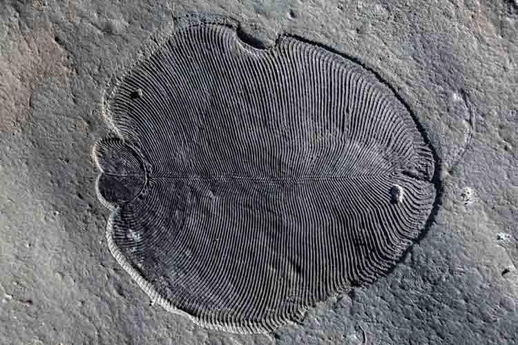 Dickinsonia fossil