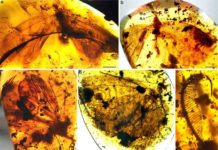 Kalligrammatids in Burmese amber