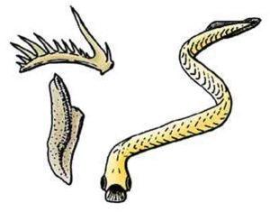 euconodonts