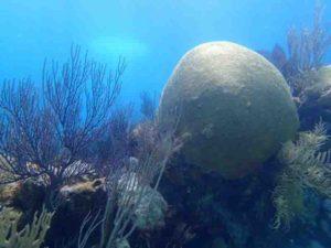 The calcium carbonate skeleton of this living brain coral (Diploria labyrinthiformis) was evaluated for this study.