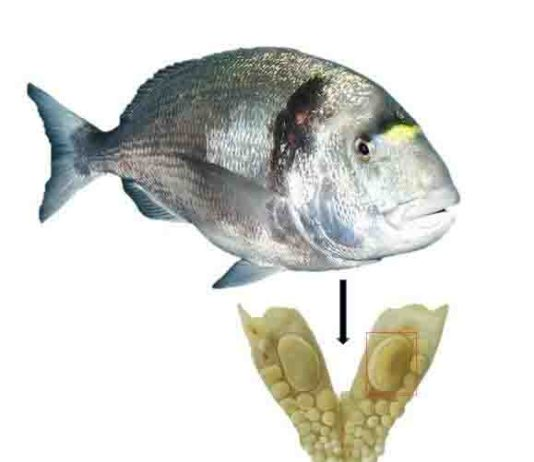Jaw with a durophagous dentition consisting of teeth with thick enamel of the gilthead sea bream (Sparus aurata): The large molariform tooth was used for oxygen isotope analysis and to estimate the size of the fish.