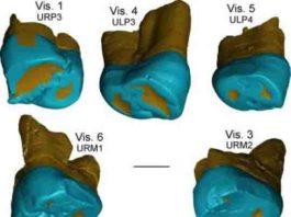 This is a virtual rendering of the Visogliano and Fontana Ranuccio teeth.