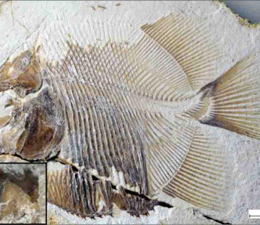 piranha-like fish