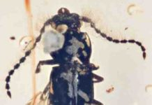 The fossil beetle, Propiestus archaicus, preserved in amber.
