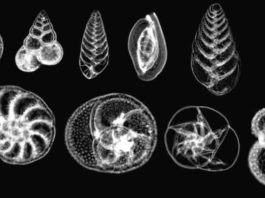 Planktonic foraminifera, such as these collected in the Gulf of Mexico, form the base of many marine and aquatic food chains.