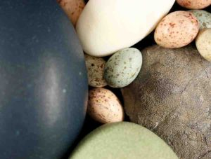 An assortment of paleognath and neognath bird eggs and a fossil theropod egg (on the right).