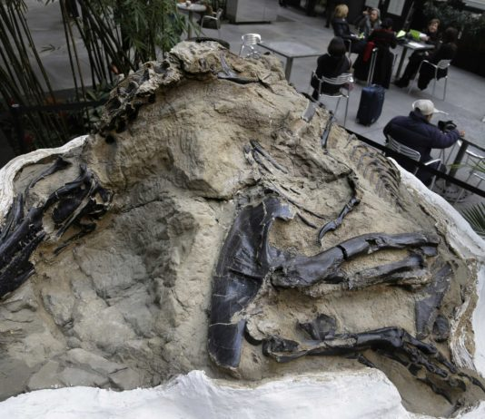 two fossilized dinosaur skeletons found on a Montana