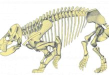 During the Triassic period (252-201 million years ago) mammal-like reptiles called therapsids co-existed with ancestors to dinosaurs, crocodiles, mammals, pterosaurs, turtles, frogs, and lizards.