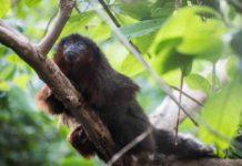 Xenothrix's close relative, the red titi monkey (Callicebus cupreus).