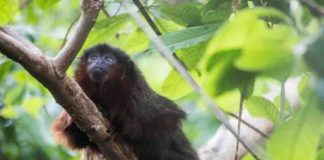 Xenothrix's close relative, the red titi monkey (Callicebus cupreus).