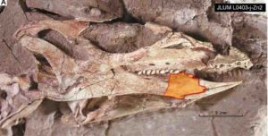 The skull of the holotype specimen of C. parvus (JLUM L0304-j-Zn2).