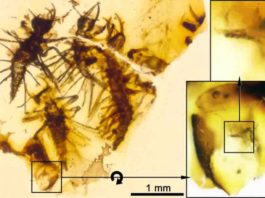Four complete Tragychrysa ovoruptora newborns preserved together with egg shell remains and one visible egg burster (right inset). Credit: Modified from the open access article published in Palaeontology: 'The hatching mechanism of 130-million-year-old insects: an association of neonates, egg shells, and egg bursters in Lebanese amber'