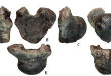 Volgatitan simbirskiensis anterior caudal vertebra