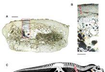 Saltriovenator zanellai