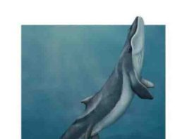 This is an artistic reconstruction of a mother and calf of Maiabalaena nesbittae nursing offshore of Oregon during the Oligocene, about 33 million years ago.