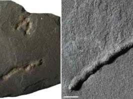 Previously, the oldest traces of this kind found dated to approximately 600 million years ago: the Ediacaran period, also characterized by a peak in dioxygen and a proliferation in biodiversity. Scale bar: 1 cm. Credit: A. El Albani / IC2MP / CNRS - Université de Poitiers