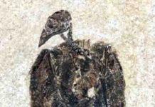 Eofringillirostrum boudreauxi
