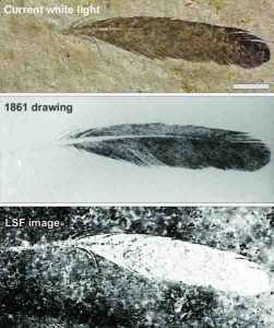 The isolated Archaeopteryx feather is the first fossil feather ever discovered. Top image, the feather as it looks today under white light. Middle image, the original drawing from 1862 by Hermann von Meyer. Bottom image, Laser-Stimulated Fluorescence (LSF) showing the halo of the missing quill. Scale bar is 1cm. Credit: Copyright The University of Hong Kong