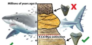 Megalodon extinction graphical abstract.