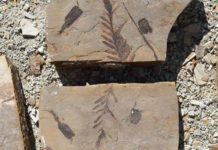 A fossil of a conifer called Cunninghamia.