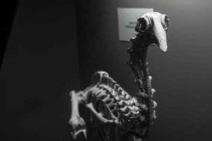 Adzebill skeleton