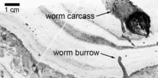 These are worm tunnels (labelled) visible in small section of rock.