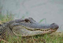 American Alligators make neural maps of sound the same way birds do