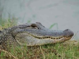 American Alligators make neural maps of sound the same way birds do