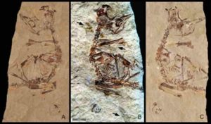 "Feathers revealed in a ~125 million-year-old fossil of a bird hatchling shows it came ""out of the egg running"". Specimen MPCM-LH-26189 from Los Hoyas, Spain is preserved between two slabs of rock: (a) 'counter' slab under normal light (b) Laser-Stimulated Fluorescence (LSF) image combining the results from both rock slabs. This reveals brown patches around the specimen that include clumps of elongate feathers associated with the neck and wings and a single long vaned feather associated with the left wing. (c) Normal light image of the main slab. Scale is 5mm."