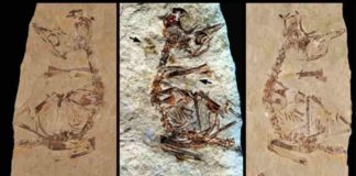 """Feathers revealed in a ~125 million-year-old fossil of a bird hatchling shows it came """"out of the egg running"""". Specimen MPCM-LH-26189 from Los Hoyas, Spain is preserved between two slabs of rock: (a) 'counter' slab under normal light (b) Laser-Stimulated Fluorescence (LSF) image combining the results from both rock slabs. This reveals brown patches around the specimen that include clumps of elongate feathers associated with the neck and wings and a single long vaned feather associated with the left wing. (c) Normal light image of the main slab. Scale is 5mm."""