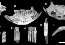 Capromyid or hutia fossils that were found digested by Cuban crocodiles,