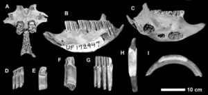 Capromyid or hutia fossils that were found digested by Cuban crocodiles,